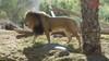 Hàng loạt sư tử ở Ấn Độ dương tính với Covid-19