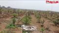 Làng Nhật Tân chăm sóc đào sau Tết