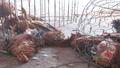 Hà Nội: Cận tết vẫn ngổn ngang gà sống, chết lẫn lộn ở chợ Hà Vỹ
