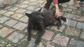 Chó đực đẻ con - chuyện chưa từng có ở Việt Nam