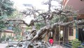 Bí mật tục chở tang cho cây ở Triều Khúc