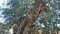 Kỳ bí bao vây cây đa 500 tuổi suýt bị làm quà tặng
