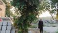 Kỳ án đòi cây đa bị thị trấn sung công
