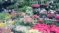 Ngắm sắc Xuân rực rỡ trên đường Hoàng Hoa Thám