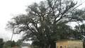 Chuyện kỳ bí về cây đa nghìn tuổi có đàn quạ khoang vạn con tìm về họp chợ