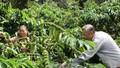 Brazil sẽ nhập cà phê vối của Việt Nam