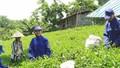 Sương Mai gìn giữ sức khỏe và hồn Trà Việt