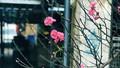 Hoa đào đã mang Xuân về trên phố