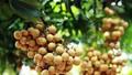 Nhãn tươi Việt Nam chính thức vào thị trường Australia