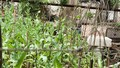 Phát hiện vườn thuốc phiện giữa làng hoa Hà Nội