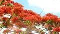 Rực rỡ cung đường hoa phượng ở Hậu Giang