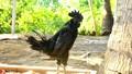 Anh công nhân lao động xuất khẩu đưa giống gà ô độc nhất vô nhị về Việt Nam