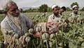 Mỹ thất bại trong cuộc chiến chống ma túy tại Afghanistan