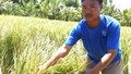 """Tiền Giang: Nông dân """"trắng tay"""" vì trồng lúa chỉ thu mỗi rơm!"""