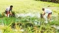 Nông dân Cà Mau khóc ròng vì mưa bão