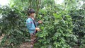 """Nỗi buồn """"cây xóa đói giảm nghèo"""" ở Mường Ảng (Điện Biên)"""