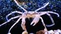 """Cua nhện Thái Lan hút hồn """"dân chơi"""" thủy sinh"""