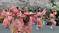 Quảng Ninh chuẩn bị Lễ hội Hoa Anh Đào – Mai vàng Yên Tử
