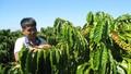 Agribank: Chủ lực đầu tư nguồn vốn tái canh cây cà phê