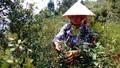 Săn dâu rừng trên dãy Hoành Sơn