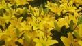Làng hoa thất thu vẫn lạc quan chuẩn bị mùa thu hoạch mới