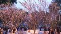 12.000 cành hoa anh đào đã về tới Hà Nội