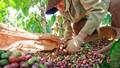 Cà phê Tây Nguyên: Hướng đi mới, bước chuyển mới