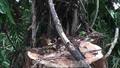 Bắt thêm 6 đối tượng trong vụ trộm gỗ cây thuỷ tùng 500 tuổi