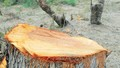 """Phù Cát (Bình Định): Rừng phi lao ven biển từ từ """"chui"""" vào lò than"""
