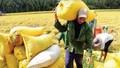 Tương lai của ngành lúa gạo: Vì sao VFA bị yêu cầu phải cải tổ?