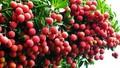 Vải thiều Bắc Giang: Sản lượng tăng, lo thị trường tiêu thụ