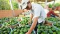 """Giải cứu nông sản: """"Quả đắng"""" mùa... trái ngọt"""