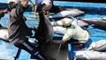Cá ngừ xuất khẩu vẫn đạt doanh thu tốt