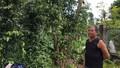 Đồng Nai: Tiêu rớt giá, nông dân ồ ạt phá vườn