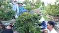 Người trồng mai Bình Định phấn khởi chờ Tết