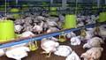 Xuất khẩu sản phẩm gia cầm: Nông hộ nhỏ phải nhường chỗ trang trại lớn