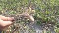 Nông dân TT – Huế điêu đứng: Mất mùa đậu phộng vừa vì nắng hạn, vừa vì nguồn giống trôi nổi