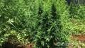 Trồng hơn 200 cây cần sa trong vườn nhà
