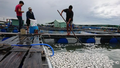 Cá lồng, bè chết trắng bụng trên sông Chà Và, thiệt hại hàng tỷ đồng