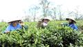 Sắp xếp, đổi mới hoạt động các công ty nông lâm nghiệp: Không nhất thiết phải dàn hàng ngang