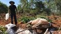 Vì sao dịch lở mồm long móng lan rộng ở Quảng Ngãi?