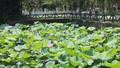 Về thăm quê hương cụ thân sinh Bác Hồ những ngày sen nở