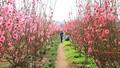 Băn khoăn phát triển du lịch gắn với hoa