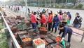 Giải cứu nông sản Hải Dương ở Hà Nội: Như muối bỏ biển!