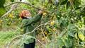 Nghệ An phải 'giải cứu nông sản' đến bao giờ?