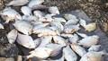 Cá chết hàng loạt trên sông Hoàng Mai