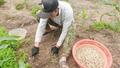 """Hành tăm rớt giá, """"bí"""" đầu ra khiến nông dân lao đao  """