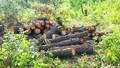 Nghệ An: Rừng phòng hộ bị phá giữa ban ngày, chỉ cách UBND xã 2km, nhưng chủ tịch vẫn không biết