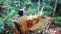 Phạt tù nguyên Giám đốc hủy hoại rừng
