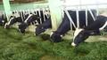 """Giải pháp nào để cứu đàn bò sữa """"vỡ kế hoạch""""?"""